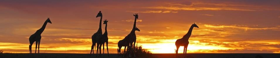 Herd of Giraffes at Sunset